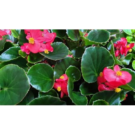 Бегония с зелени листа в саксия - различни цветове