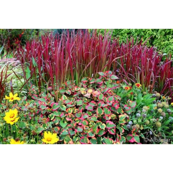Многогодишна декоративна трева / Imperata cylindrica Red Baron