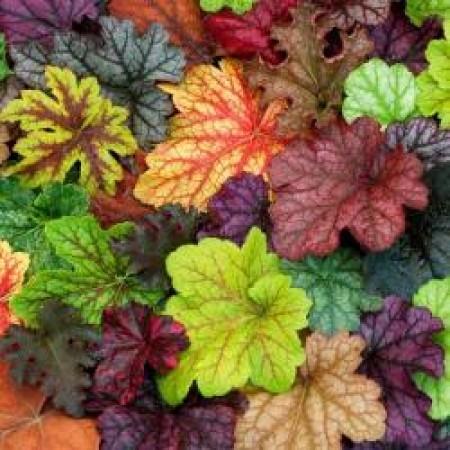 Хойхера НОВО Зареждане - различни цветове