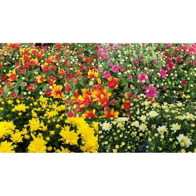 Хризантема в саксия Ф17 (различни цветове)