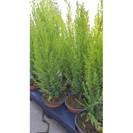 Разсад за Лимонов Кипарис, Cupressus macrocarpa 'Gold Crest'