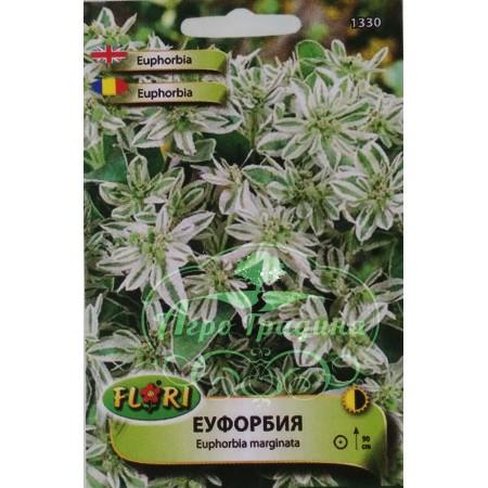 Еуфорбия (млечка) - Еuphorbia marginata