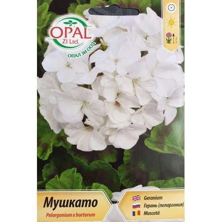 Бяло Мушкато F1 / Pelargonium x hortorum